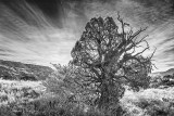 Old Gnarly Tree 71573v2BW