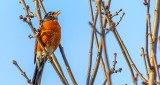 Robin Singing In A Tree DSCN21787