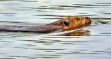 Swimming Beaver DSCN21907