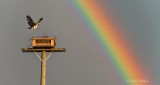 Osprey & Rainbow P1300952