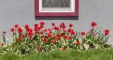 Red Tulips Under Window P1200492
