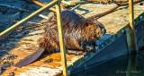 Bothered Beaver DSCN22351