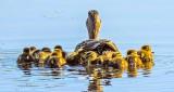 A Raft Of Ducklings DSCN22369
