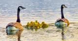 Geese & Goslings DSCN22548