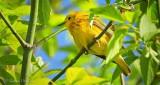 Yellow Warbler DSCN22903