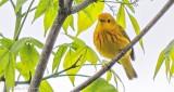 Yellow Warbler DSCN23323