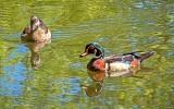 Wood Duck Couple DSCN3970