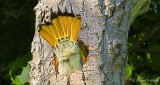Flicker Tail Underside DSCN24080