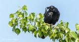 Crow Scratching An Itch DSCN23919