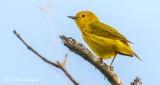 Yellow Warbler DSCN24242