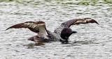 Loon Spreading Its Wings DSCN24534