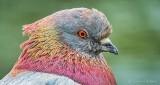 Pretty Pigeon Profile DSCN24591