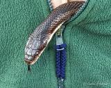Sweatered Rat Snake DSCN24360