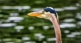 Heron Head DSCN24610