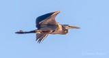 Heron In Flight DSCN24984