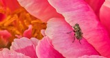 Fly On A Pink Peony DSCN25290