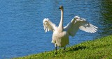 Town Swan Stretching DSCN25665
