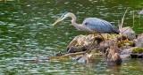 Heron On The Hunt DSCN25755