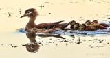 Mama Wood Duck & Ducklings At Sunrise DSCN25858