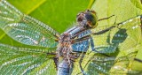 Dragonfly Closeup DSCN26113-5
