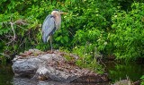 Heron On Dead Wood DSCN26330