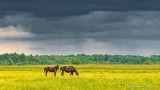 Horses Under Threatening Sky DSCN26351