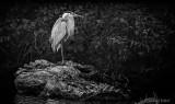 Heron On Dead Wood DSCN26330BW