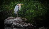 Heron On Dead Wood DSCN26330v2