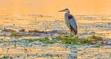 Great Blue Heron At Sunrise DSCN26426-7