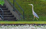 Heron Out For A Stroll DSCN26766