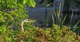 Heron In The Bush DSCN26899