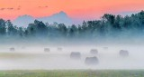 Bales In Sunrise Ground Fog P1310764-6