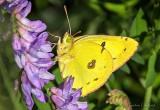Yellow Butterfly DSCN27097