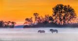 Two Horses In Sunrise Ground Fog P1310809-11