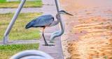 Heron In Murphy Park At Sunrise P1310930