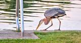 Heron Poised To Strike P1310944