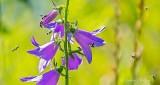 Buggy Creeping Bellflower DSCN27214-25
