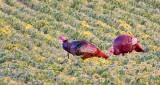 Turkeys In A Field At Sunrise DSCN27355