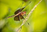 Widow Skimmer Dragonfly DSCN27477