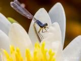 Damselfly On A Water Lily DSCN27861