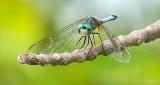 Dragonfly DSCN28009-11