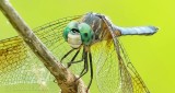Dragonfly (crop) DSCN27973