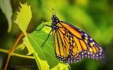 Monarch Butterfly DSCN28126