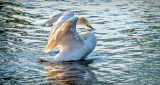 Town Swan Stretching DSCN28114