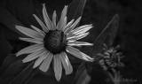 Sunstruck Black-eyed Susan DSCN28096