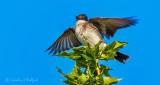 Kingbird Stretching Its Wings DSCN28300