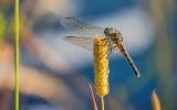 Dragonfly DSCN28318-9