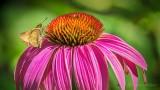 Butterfly On A Coneflower DSCN28216