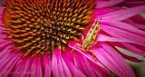 Grasshopper On A Coneflower DSCN28568