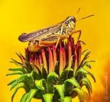 Grasshopper On A Budding Coneflower DSCN28606-8